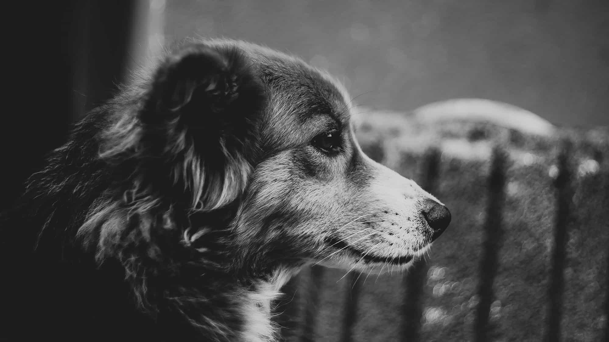 Benadryl para perros - 3
