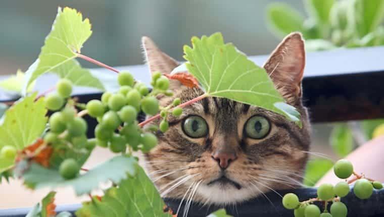 Gato y uvas