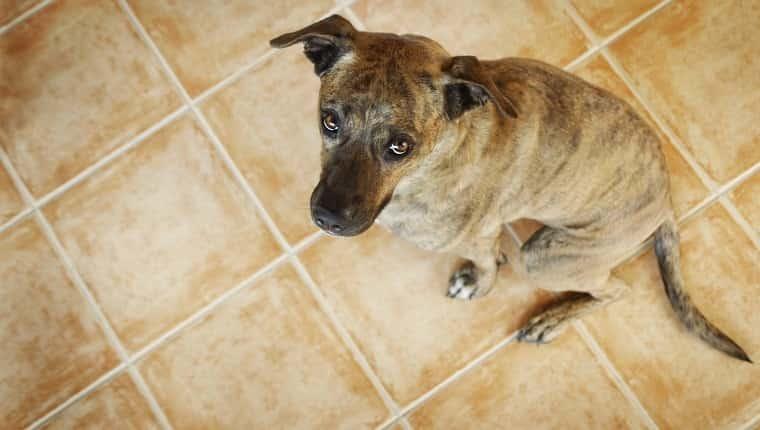 """Una mezcla de American Staffordshire Terrier que parece """"culpable"""" por algo. Canon Eos 1D MarkIII."""