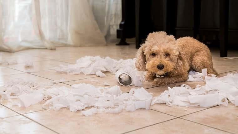 Perro travieso y aburrido con remordimiento destrozó rollo de papel cuando estaba solo en casa