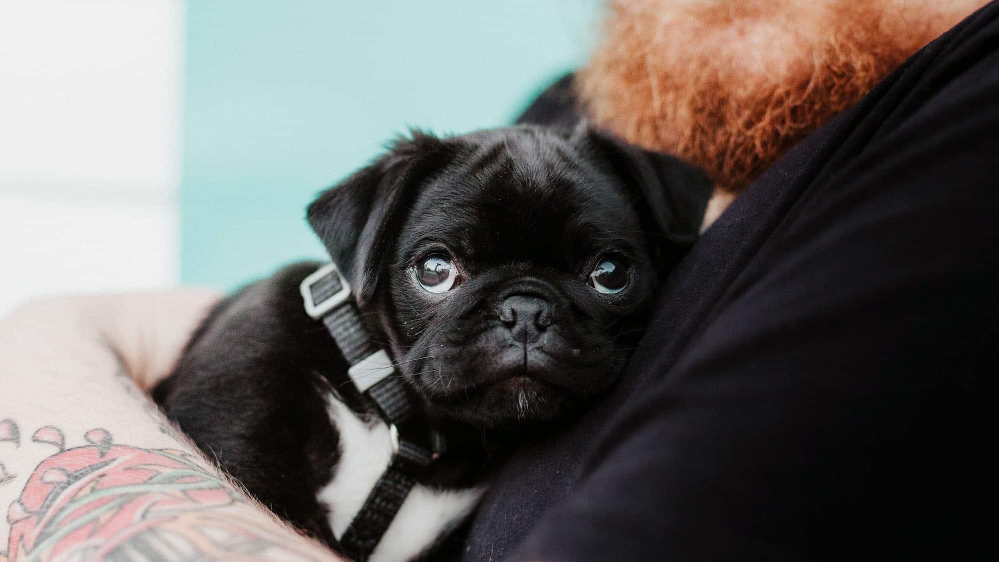 Cómo encontrar un criador de perros de buena reputación - 3