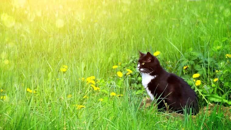 Lindo gato blanco y negro en el césped de verano.  Fondo soleado horizontal con gatito, hierba verde y flores.  Copiar espacio para texto