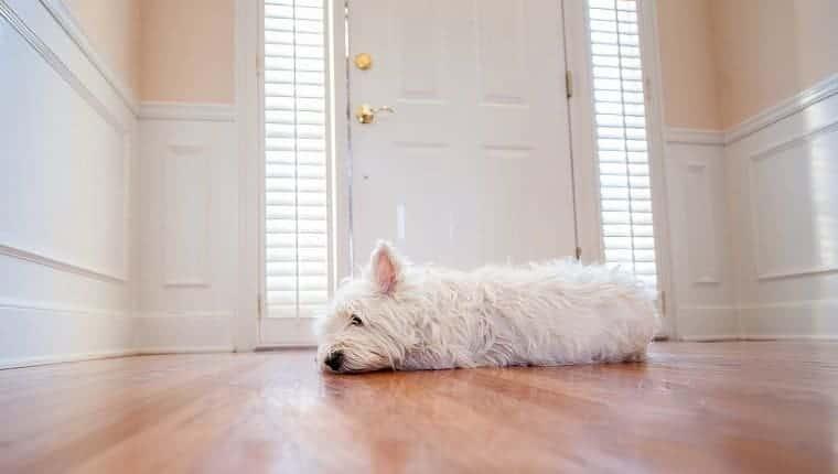 Un pequeño perro blanco está acostado y esperando junto a la puerta de entrada.
