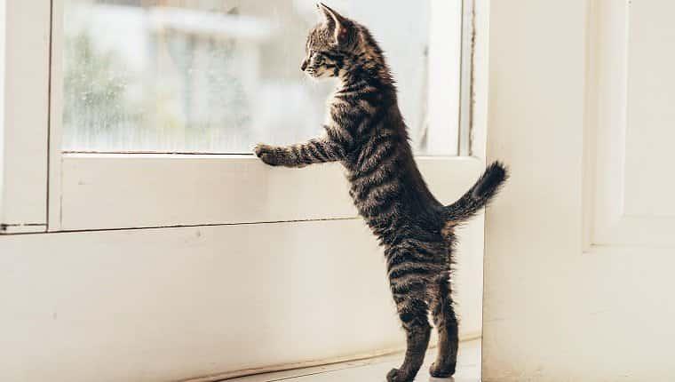 Un gato pequeño está de pie mirando por la ventana con sus patas delanteras en el alféizar de la ventana.