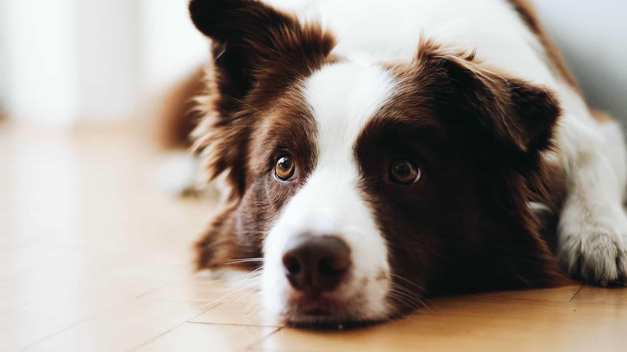 Benadryl para perros - 1