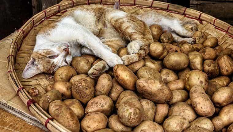 Adorable gato durmiendo en una canasta de patatas frescas