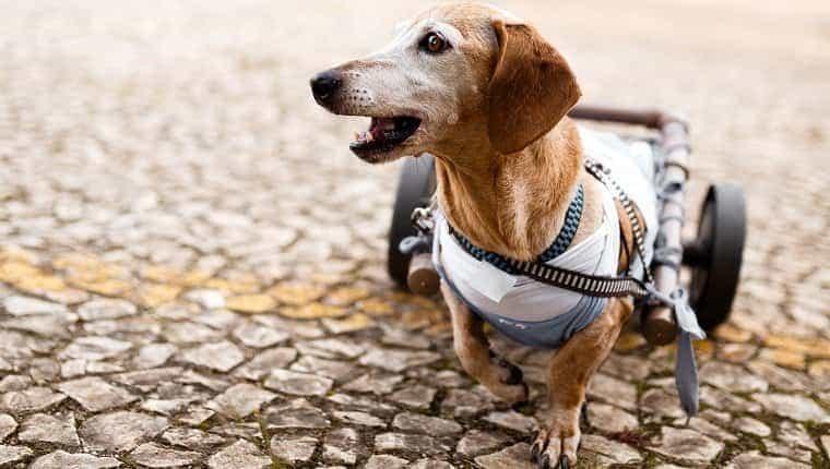 Perro dachshund senior parapléjico