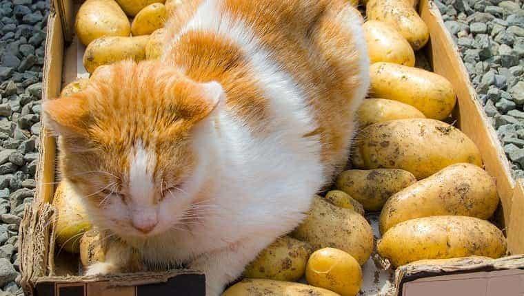 Jengibre y gato blanco en bandeja de patatas cosechadas.