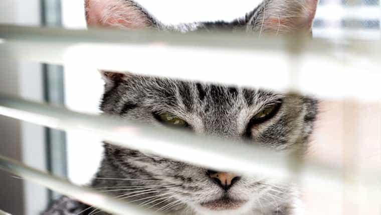 Gato entrecerrando los ojos a través de las cortinas