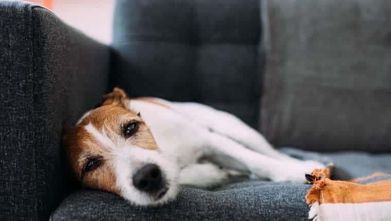 Parson Russell Terrier perro sintiéndose cansado, desesperado y con sueño, acostado en un sofá gris carbón en casa