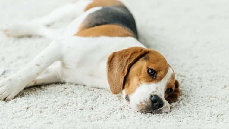 lindo beagle acostado en la alfombra en casa