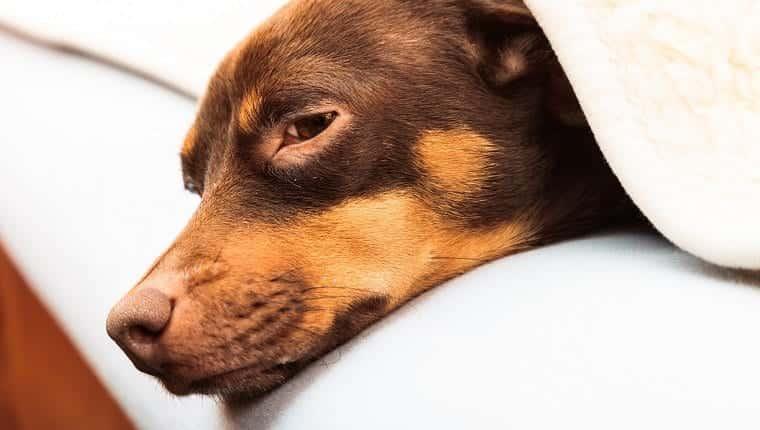 Animales en casa.  Teckel de chihuahua y perro shih tzu mixto relajante durmiendo en la cama bajo una manta de lana interior