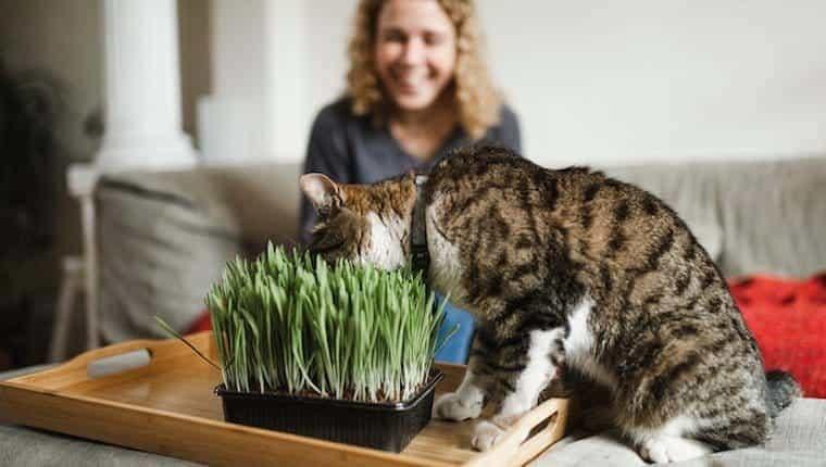 Gato y hierba gatera