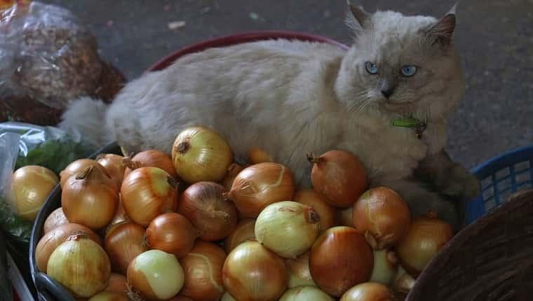 Gato con cebolla