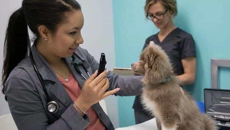 Veterinario con otoscopio para controlar perros pequeños