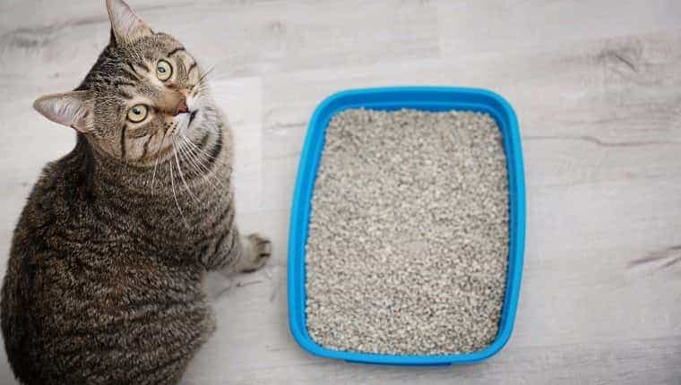 Adorable gato cerca de la bandeja sanitaria en el interior.  Clínica de cuidado de mascotas