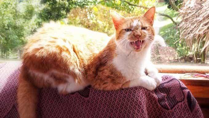 gato maullando delante de la ventana