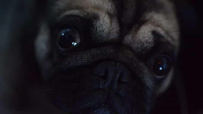 cerca de la cara y los ojos del perro