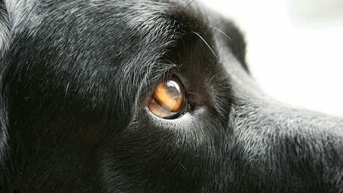 primer plano de ojo de perro