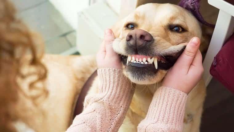 Perro golden retriever mostrando los dientes para el mes nacional de salud oral de mascotas