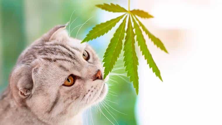 Primer plano de retrato sobre fondo borroso con hoja de cannabis.  Gato Scottish Fold oliendo hojas de marihuana verde en las manos