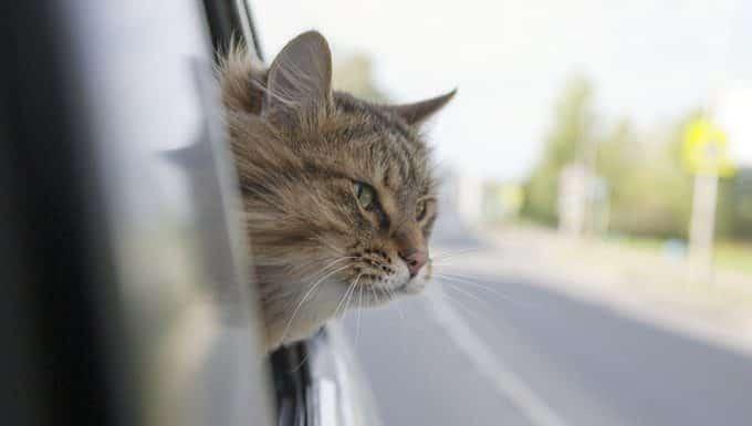 gato en el coche con la cabeza por la ventana