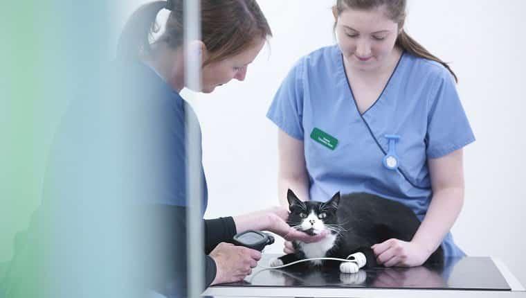 Enfermeras veterinarias examinando gato en la mesa en la oficina veterinaria