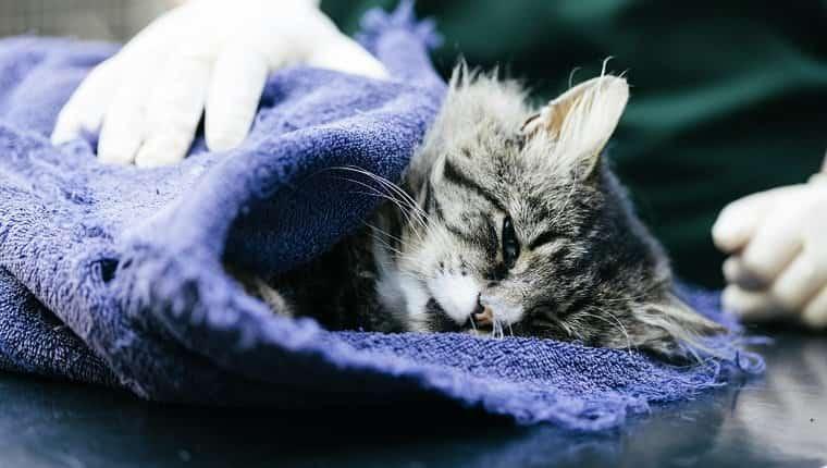 Una enfermera veterinaria cuidando a un gato en un hospital veterinario.  Se sospecha que fue atropellado por un automóvil.  El gato está bajo anestesia.