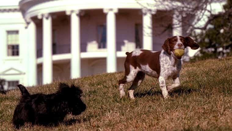 WASHINGTON, DC - 23 DE ENERO: En esta foto publicada el 31 de enero de 2001 por la Casa Blanca de EE. UU., Barney (izq.), Un Scottish Terrier, y Spot (R), un Springer Spaniel inglés, juegan en el césped sur del White House 23 de enero de 2001. Barney fue un regalo de Christine Todd Whitman, ex gobernadora de Nueva Jersey y actual directora de la Agencia de Protección Ambiental (EPA), al presidente de los Estados Unidos, George W. Bush y su familia.  Spot es el hijo de Millie, que era el perro de la familia del ex presidente George Bush.