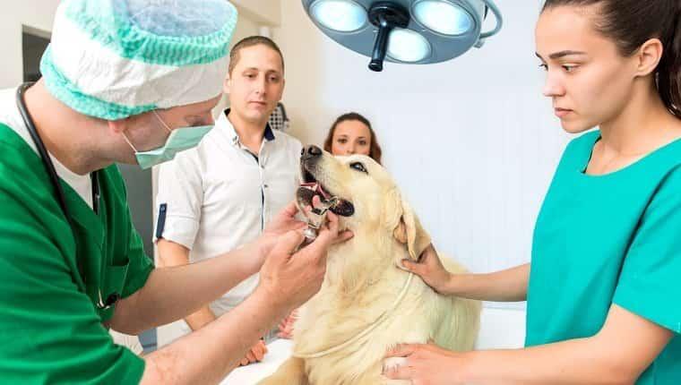 Veterinarios masculinos y femeninos de mediana edad que examinan el golden retriever.  Veterinario examinando los dientes en la oficina del veterinario.