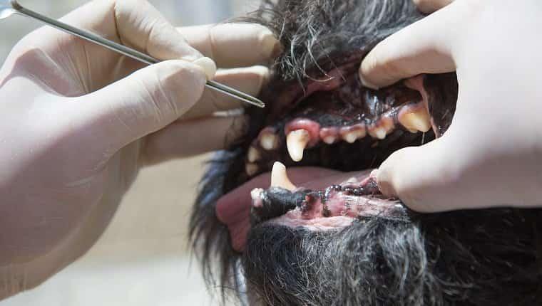 El veterinario está utilizando la herramienta para tratar la gingivitis en la boca abierta del perro bajo anestesia.