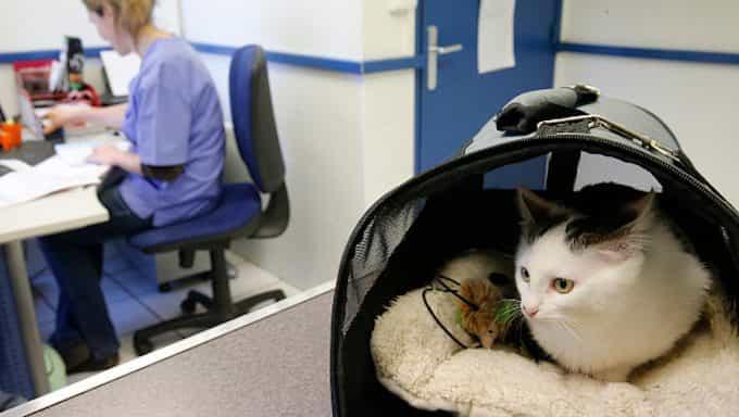 gato en portador en la oficina del veterinario