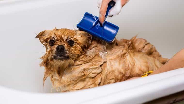 Peluquero peinando perro mojado en el baño, arreglando spitz.  Cuidar mascotas