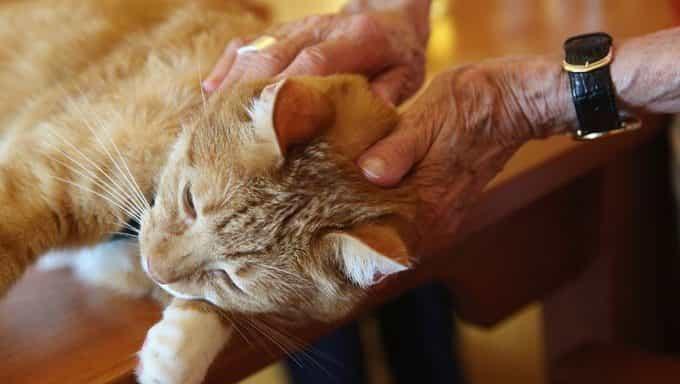 gato con rasguños detrás de la oreja