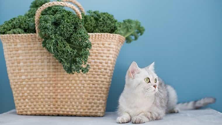 Gato gris y ensalada de col rizada verde en bolsa de paja ecológica sobre fondo azul.
