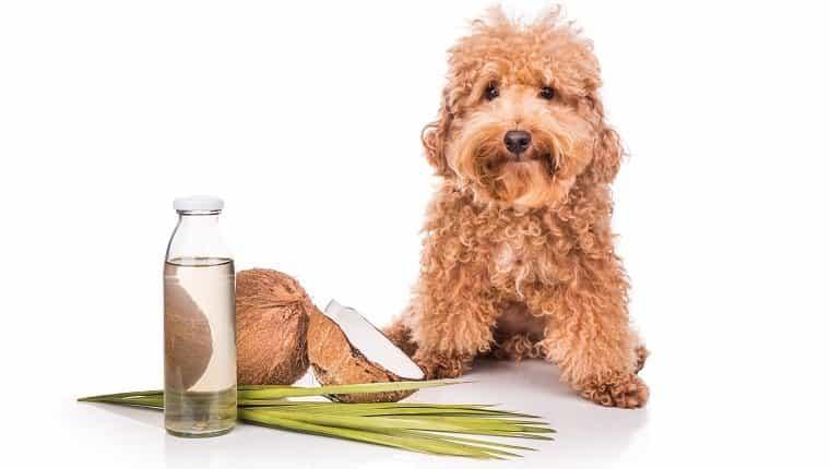 El aceite y las grasas de coco son buenos y repelentes contra las pulgas y garrapatas naturales para las mascotas, como los perros, debido al ácido láurico.