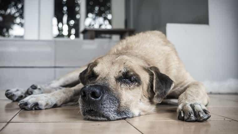Perro viejo solitario tendido frente a la casa esperando al dueño.