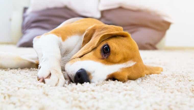Perro cansado en la alfombra.  Beagle triste en el suelo.  Perro acostado sobre la alfombra suave después del entrenamiento.  Beagle con ojos tristes abiertos dentro de la casa.  Hermoso fondo animal.