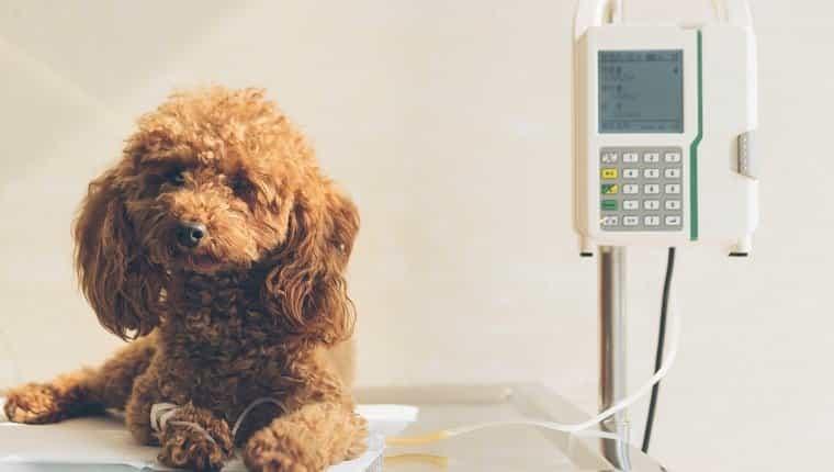 perro enfermo en el hospital veterinario.