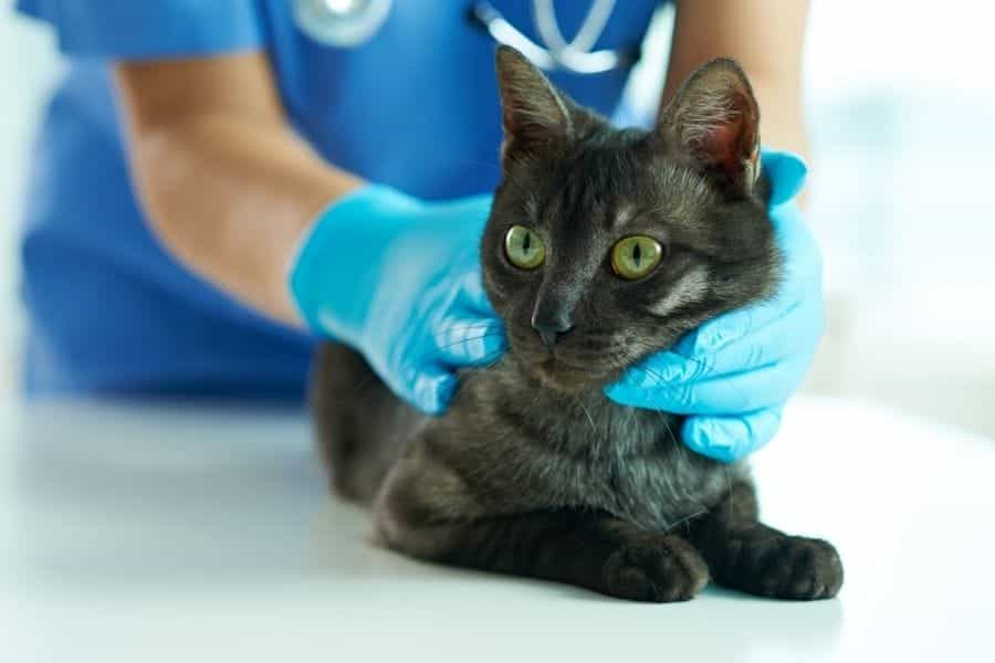 gato siendo revisado por veterinario