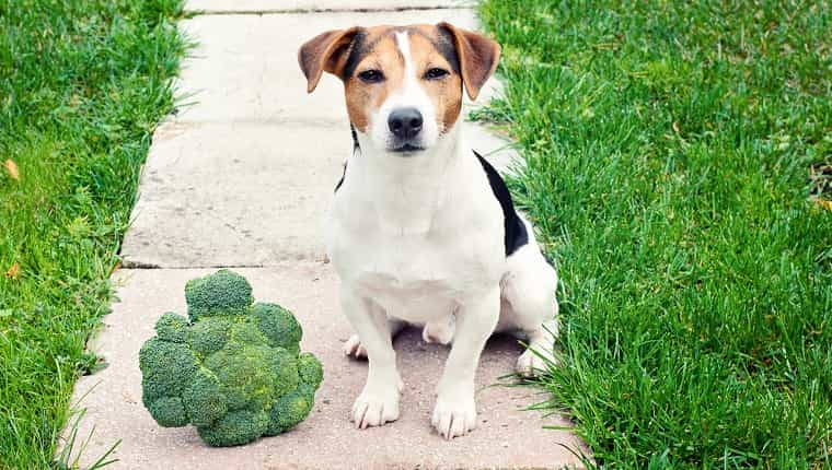 Perro Jack Russell Terrier sentado con brócoli al aire libre y mirando a la cámara La mascota puede comer brócoli concepto