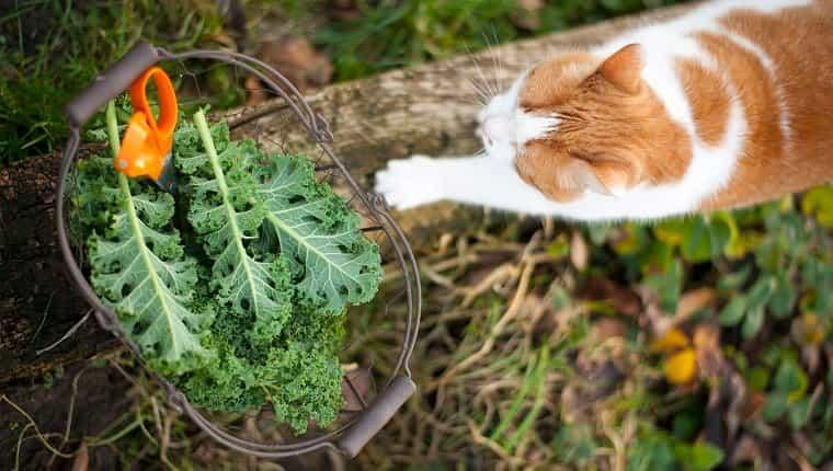 Alemania - Hamburgo - Altes Land - Wintergemüse - Grünkohl aus dem Garten im Metallkorb mit Schere und Katze