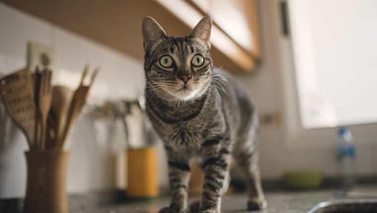 España, retrato de gato atigrado en casa