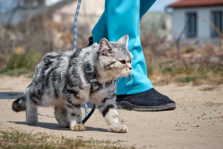 Cómo entrenar a un gato con correa