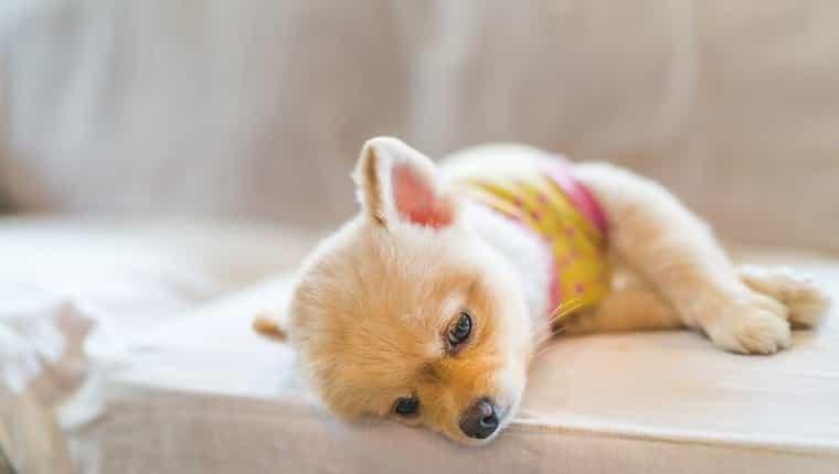 Perro pomerania cansado y soñoliento con camiseta, durmiendo en el sofá, con espacio de copia, concepto colgante o trabajo de lunes.  el perro puede tener síntomas de hiperpotasemia.
