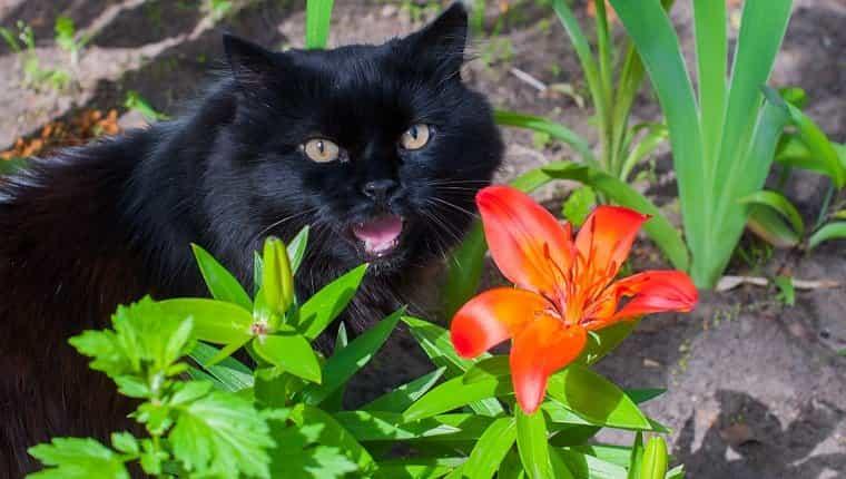 gato negro está sentado cerca de lirio naranja