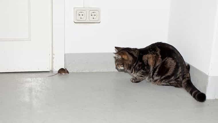 Un gato y un ratón cara a cara.