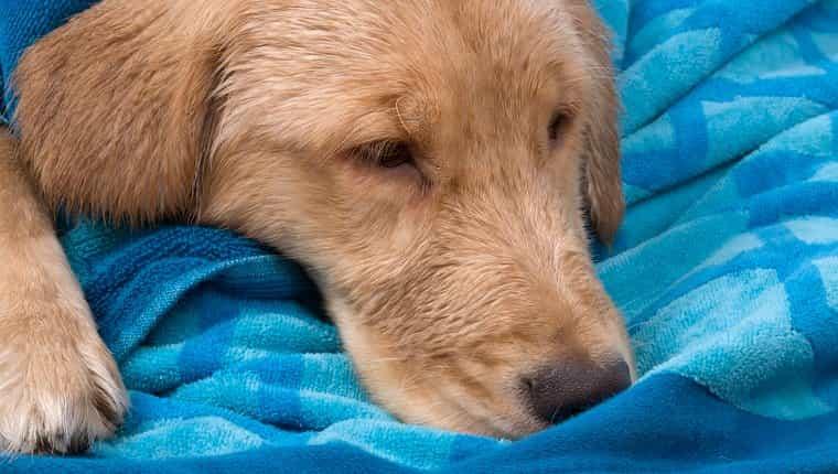 Golden Retriever enfermo.