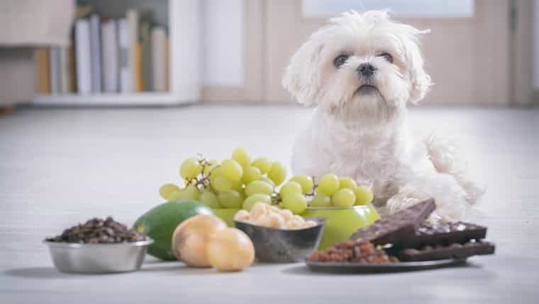 Cachorro maltés blanco e ingredientes alimentarios tóxicos para él