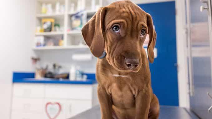 Dog Ate Pot - cachorro en el veterinario